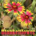 Sizzling Coloured Flowers – Grasp Gardener Program