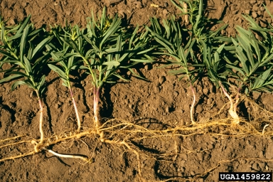 The spreading root system of yellow toadflax. Photo by Steve Dewey, Utah State University, Bugwood.org.