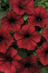 Petunia Tidal Wave® Red Velour flowers