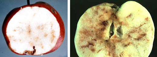 Apples cut in half reveal the darkened trails of apple maggot tunneling through the fruit. (Archive images)