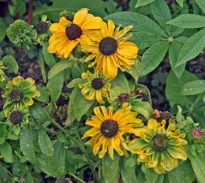 Aster yellows on Rudbeckia.