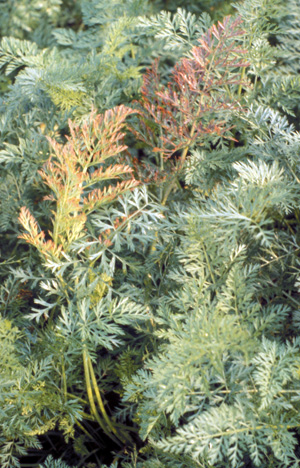 Reddened foliage of aster yellows infected carrots.