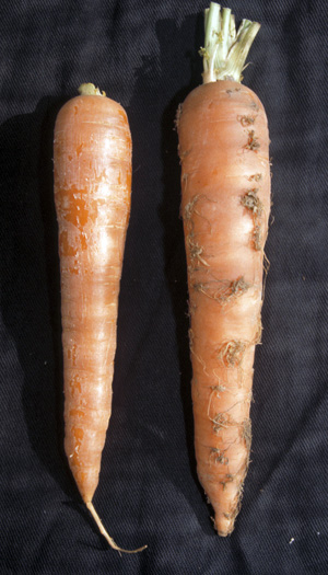 Healthy carrot root (L) and aster yellows infected root showing typical root hair growth (R).