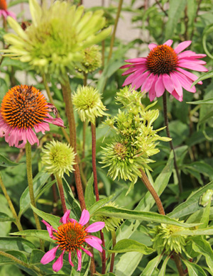 Aster yellows infected purple coneflowers.