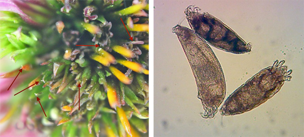 Arrows point to the barely visible coneflower rosette mites (L) in the flower head. Microscopic view of the mites (R) at 100x. Photos by P.J. Liesch.