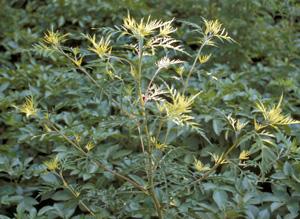 Aster yellows on ragweed.