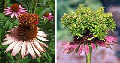Abnormal growths caused by coneflower rosette mite on Echinacea. Note that the petals remain normal in shape and color.