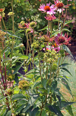 Aster yellows cannot be cured, so infected plants should be removed to prevent transmission to other plants.