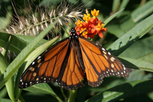 Asclepias curassavica is attractive to butterflies