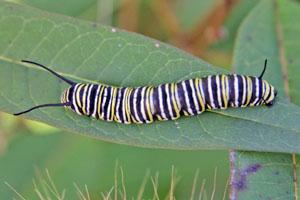 A monarch caterpillar on Asclepias curassavica