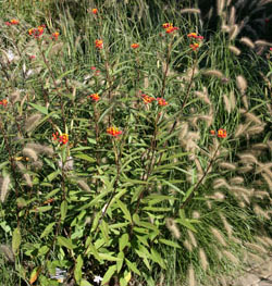 Asclepias curassavica growing with ornamental grasses.