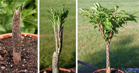 voodoo lily amorphophallus konjac � master gardener program
