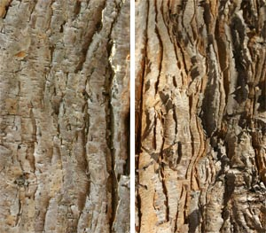 The exfoliating bark of three flowered maple.