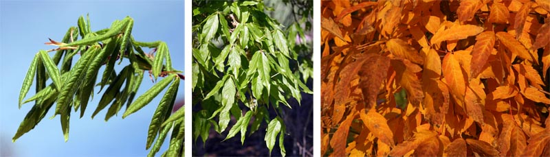 Leaves of Acer triflorum in spring (L), summer (C), and fall (R).