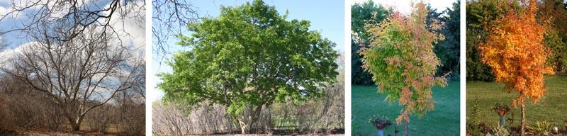 Three flowered maple through the seasons.