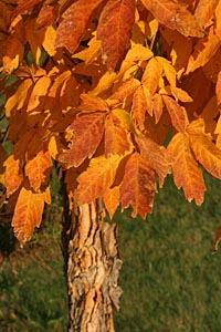 Acer triflorum is particularly ornamental in fall.