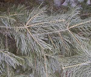 Concolor fir has flat, blue-green needles.