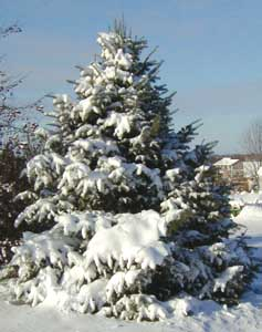 A concolor fir in winter.