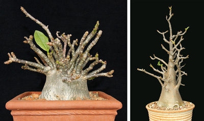Two forms of Adenium arabicum occur; these will probably eventually be considered as separate species. L: the short form develops a large but fairly globose above-ground caudex with numerous slender upright stems. This plant is in an 8 pot. R: the tall form develops a central trunk and in nature these can become small trees. This plant is in a 10 pot. Both forms go dormant in the winter time and start to develop new flower and leaf buds as the days begin lengthening in late January.