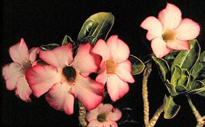 Adenium obesum blooming.