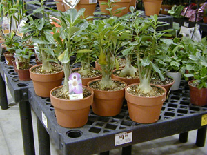 Adenium plants for sale at a local retailer.
