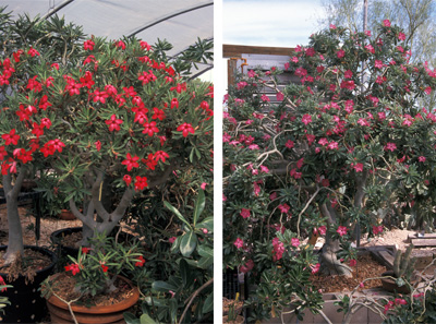 When given ideal conditions, plenty of root room, and a long growing season some Adeniums can grow quite large and colorful, such as these in an Arizona greenhouse. But their size can be kept in check by keeping them under-potted.