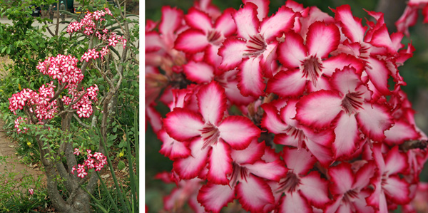 Adenium multiflorum planted at a rest camp in Kruger National Park, South Africa (L) and closeup of the bicolored petals (R).