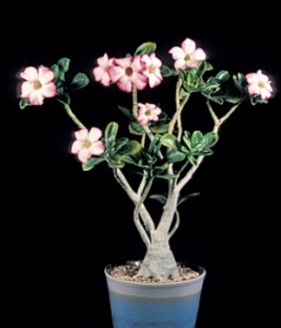 Adenium obesum, 30 years old and 20 inches tall. The photo was taken as the plant was beginning new growth and flowering in the spring (mid March).
