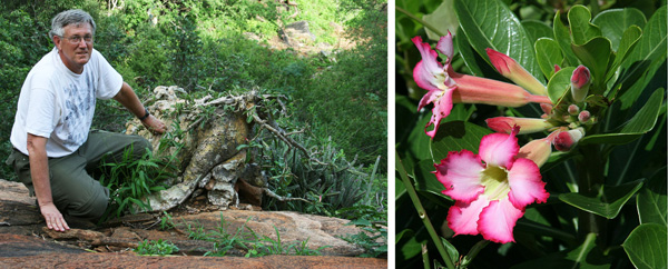 The author with a very old Adenium obesum with a large, boulder-like caudex (L) and a plant at the beginning of the flowering season in southern Kenya (R). Note the proliferation of developing buds.