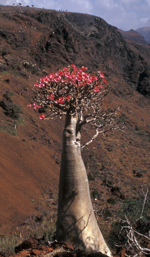Adenium socotranum is the giant of the group, and is restricted to the island of Soqotra. It is also the rarest in cultivation. Photo by Peter Gamarano.