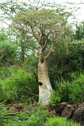 Adenium somalense at Lake Bogorio in the Rift Valley of western Kenya. In great age this species can become a small, fat-trunked tree. Note the lush vegetation in the rainy season, indicating that it can tolerate much rain while in growth. But the soil is rocky and well-drained.