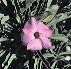 A. swazicum Perpetual Pink