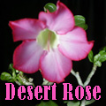 Desert Rose Adenium obesum  Master Gardener  Tropical