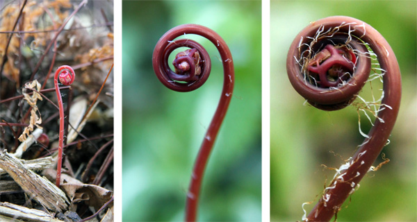 The tender, red fiddleheads of maidenhair fern emerging in spring.