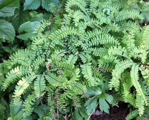 northern maidenhair fern adiantum pedatum master gardener program