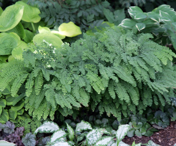 Maidenhair fern is a great addition to shade gardens
