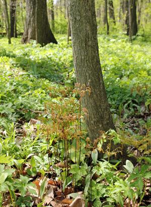 Northern maidenhair fern emerging in spring in a Wisconsin woodland.