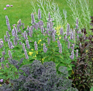 Anise hyssop contrasts well with purple-foliaged plants.