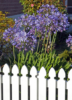 Agapanthus are common landscape plants in mild climates