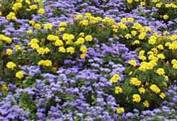 Blue ageratum and yellow marigolds provide nice contrasting colors.