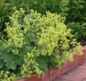 The plants produce airy sprays of yellow to green flowers.