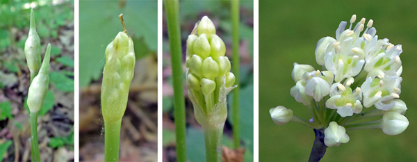 The flower stalks are covered with a papery sheath (L), that breaks open to reveal numerous white buds (LC and RC) that open into small white flowers in the terminal cluster (R).