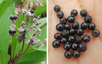 The shiny, sperical black seeds (R) persist through the winter on the old flower stalks (L).