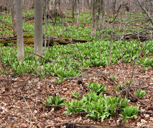 Large patches of Allium tricoccum in a maple woods in early spring.