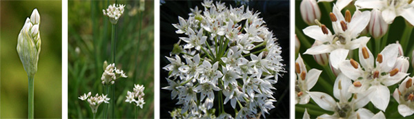Flowers of Allium tuberosum emerge from papery buds (L) to open in loose umbels of star-shaped, white flowers (R).