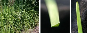 The grass-like foliage of garlic chives (L). Each narrow leaf is flattened to be roughly triangular in cross-section (C), with a rounded tip (R).