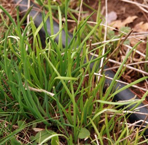 Garlic chives coming up in spring.