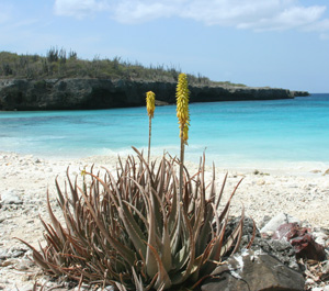 Aloe vera on the island of Bonaire in the southern Caribbean, where it was once cultivated and has now become naturalized.