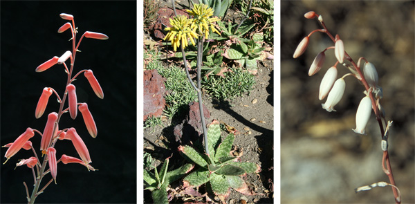 Left: The small hybrid Aloe Freckles has a fairly typical Aloe inflorescence in the form of a raceme with tubular flowers. The shape and density of the raceme and color of the flowers vary with species. Center: Aloe maculata (the form called saponaria) from South Africa has either reddish or yellow flowers in a tight capitate (head-like) raceme. Right: White flowers of Aloe calcairophila.