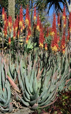 Medium to large aloes are common landscape plants in southern California. This is Aloe aculeata growing at the Huntington Botanic Garden near Pasadena. Note the bicolor flowers.